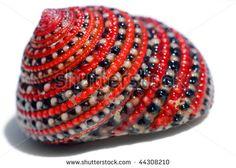 Beautiful red black white sea shell