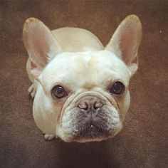French Bulldog, what a Beauty.