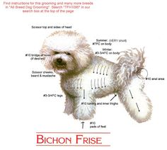 Grooming Guide for Bichon Frise ~ my puppies!