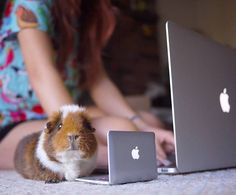 A guinea pig and its owner using computers!