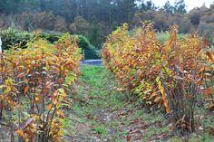 Los castaños hibridos los propagamos por el sistema de acodo bajo. www.plantamus.es