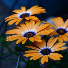 African Daisy (Dimorphotheca Sinuata Orange) - African Daisies are one of the loveliest garden flowers.The striking daisy-shaped flowers attract