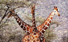 Three well-placed reticulated giraffes graze on the savannah of Kenya's Samburu National Reserve. The image was captured by Tony Murtagh: i love giraffes!!