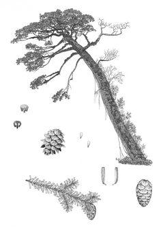 Tsuga sieboldii - botanical art of Aljos Farjon.