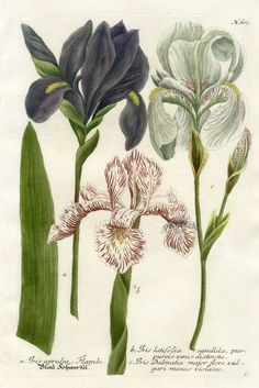Botanical illustration of iris