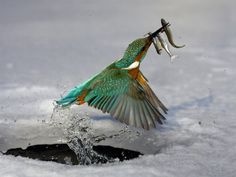 water ice nature birds animals fish kingfisher wallpaper background