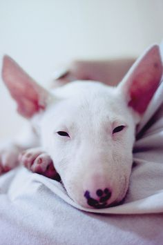 Don't wake me up! My dear bull terrier by inhiu, via Flickr