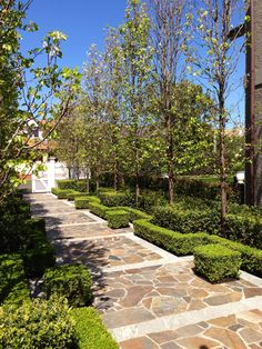 Entry path  | ornamental Pear trees, Box Hedge, Murraya and mid-height Lilly Pilly hedge