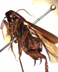 Vengeful Taxonomy: Your Chance to Name a New Species of Cockroach – Entomology Today Ace Exterminators
