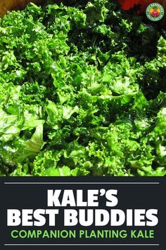 Which plants are good kale companion plants? Which aren't? We reveal everything you'll need for getting your garden organized and growing!