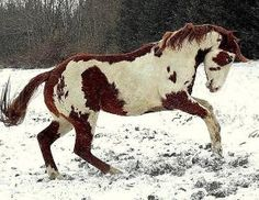 Paint horse.  /Picture taken by Holley Underhill, this is her horse, Holley takes amazing photos EL./