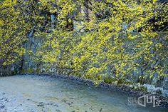 <<반영이 아름다운 구례 산동면 현천마을>> 전남 구례군 산동면 현천마을에는 작은 저수지가 하나있다. 이곳은 산수유나무꽃이 활짝피면서 아름다움을 뽐내는 곳이다. 특히 많은 사진 작가들이 저수지에 반사되어 비치는 마을 모습을 담기위해 새벽녘에 도착하여 봄 추위에 몸을 움츠리며 기다린다. 올해는 바람이 불지 않아 좋은 반영의 모습은 볼 수 있지만 조금 덜 핀 꽃으로 아쉬움을 주었다. (뉴스바로 장덕수 기자 2014.3.25)
