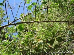 Celtis iguanaea - Esporão-de-galo. Flora Digital do Rio Grande do Sul e de Santa Catarina: Celtis iguanaea