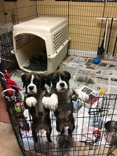 Boxer Dogs Ohhhhhh I want them both Soooooooooo Badly! Sweet little cutie pies! Boxer And Baby, Boxer Love, Puppy Care, Pet Puppy, Animals Beautiful, Cute Animals, Boxer Puppies, Happy Puppy, Cesar Millan