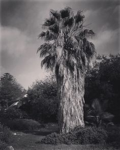Palm tree #nature #outdoors #tree #palmtrees #bnw #blackandwhite #blackandwhitephotography #blackandwhitephotographyoftheday #bnw_life #bnw_society #bnw_captures #bnw_drama #bnw_legit #ig_naturelovers #ig_naturepictures #ig_naturesbest @24earth