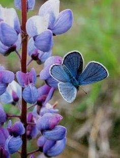 Karner Blue Butterfly (on lupine) - populations of the Karners are recovering in the Indiana Dunes due to maintenance of the Oak Savanna Habitat, where Lupines flourish.  Much of the Oak Savanna Habitat in the Great Lakes region is the result of Native American's regular burns.