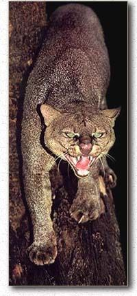 Gulf Coast Jaguarundi | the gulf coast and sinaloan jaguarundi population is rapidly depleting