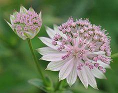 Astrantia 'Buckland' - Plants - gardenersworld.com