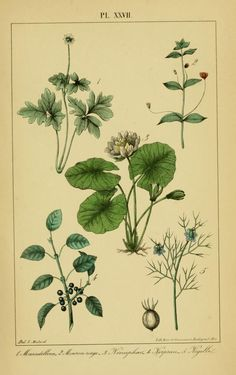 1868 - Traité pratique et raisonné des plantes médicinales indigènes, - Biodiversity Heritage Library