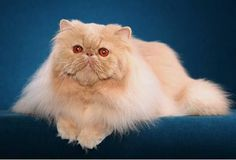 Animals Zoo Park: Persian Cats - Most Popular Cat Breeds Pictures
