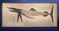 """ONE-OF-A-KIND"" PREHISTORIC SWORDFISH Protosphyraena nitida Cretaceous Niobrara Formation, Smoky Hill Chalk Gove County, Kansas, USA"