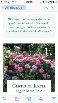 david austin top 5 english roses for shade
