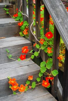 nasturtium flower how to grow \ nasturtium flower how to grow
