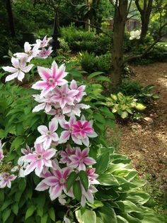 *Clematis 'Nelly Moser' 24 May 2015