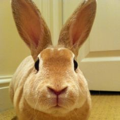 Mini rexes are often called a puppy bunny there fur feels like velvet.Mini's love to run around and strive in the indoors.They are attentive,inteligent and funny. Mini's make an ideal first bunny for anyone.  my favourite breed after my late rabbit pumpkin the lion head!