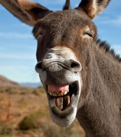 Donkey With Big Smiling Funny Face Image. Donkey With BMW Logo Funny Picture For Whatsapp. Donkey With Closeup Face Funny Image. Smiling Animals, Laughing Animals, Happy Animals, Animals And Pets, Laughing Face, Laughing Emoji, Farm Animals, Funny Animal Images, Animals Images