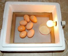 The CHEAPEST and SIMPLEST egg incubator possible, from a Styrofoam box and an appliance light bulb.
