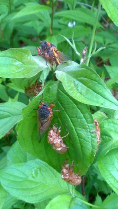 17 year locust Northeast Ohio 2016. #Cicada