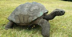Jonathan, St. Helena's 182-year-old tortoise...Seychelles giant tortoises can weigh up to 660 lbs and grow to be 4 ft long.  Jonathan's life has spanned 8 British monarchs from George IV to Elizabeth II, and 51 prime ministers.  It is thought Jonathan was brought to St Helena from the Seychelles as a mature adult in 1882.  If it's correct that he is 182 years old that would make him about 10 years too young to have met Napoleon, who died in 1821, even if he had spent his whole life on St…