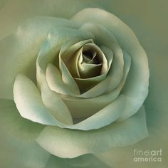 Soft Olive Green Rose Flower Canvas Print / Canvas Art by Jennie Marie Schell Shades Of Green, Green And Grey, Mint Green, Olive Green, Emerald Green, Colour Shades, Emerald City, In Natura, Colors