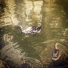 Mystery duck