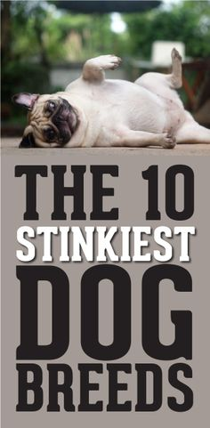 The 10 Stinkiest Dog Breeds! http://theilovedogssite.com/the-10-stinkiest-dog-breeds/