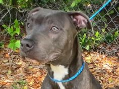 Hopte is an adoptable Pit Bull Terrier searching for a forever family near Sanford, FL. Use Petfinder to find adoptable pets in your area.