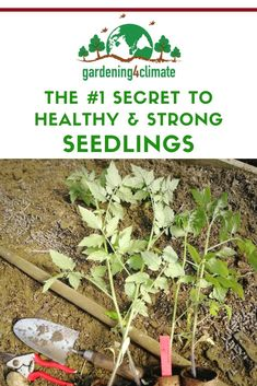 The right timing with sowing your seeds is the secret to success for a productive vegetable garden. Learn here how to calculate the best time for sowing vegetable seeds for strong and healthy seedlings. #gardening #gardeningtips #permaculture #homesteadgarden #organicgardening #homesteading #urbangardening #vegetablegardening #growingfood #gardening4climate #gardeningforclimate #seeds #startingseedsindoors Home Grown Vegetables, Fall Vegetables, Planting Vegetables, Vegetable Gardening, Sprouting Potatoes, Starting Seeds Indoors, Homestead Gardens, Weed Seeds, Grass Seed