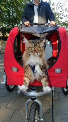 Maine Coon - Captain Tequila at the helm of his ship http://www.mainecoonguide.com/