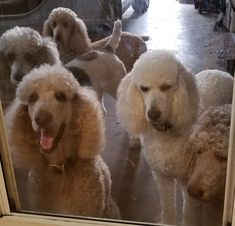 Our Poodles looking in the kitchen door.