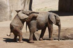 World Elephant Day World Elephant Day, Elephant Walk, Funny Animals, Cute Animals, Elephant Images, Beatles Photos, Amphibians, Reptiles, San Diego Zoo