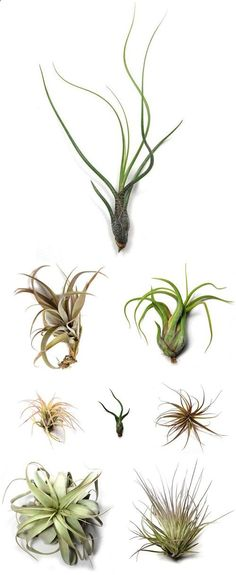 tillandsia air plants from Air Plant Supply Co.