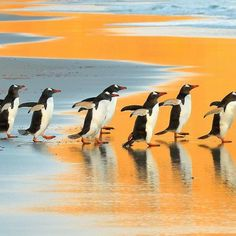 A group of Gentoo Penguins is entering the ocean by sunrise. The Neck, Saunders Island, Falkland Islands. Pic Courtesy: Elmar Weiss Image and content: National Geographic Beautiful Birds, Animals Beautiful, Cute Animals, National Geographic Society, National Geographic Photos, National Geographic Photography, Penguin Images, Penguin Parade, Gentoo Penguin