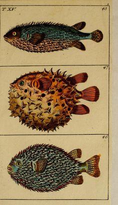 Hand-colored engraving from Unterhaltungen aus der Naturgeschichte : Der Fische 1.[-2.] Theil. By Wilhelm, Gottlieb Tobias