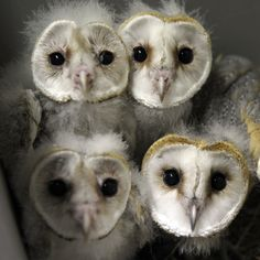 Barn Owl chicks (chouette-effraie) are pictured at the zoo of the French eastern city of Amneville,