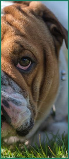Get professional info and guidance on how to buy a bulldog and pick and what ... English bulldogs are the mascots of choice for many colleges, compani...