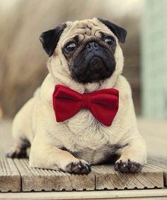 Spiffy Pug