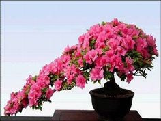 blooming bonsai 35
