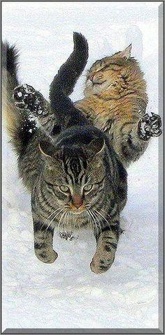 Battle of the giants  #cat cats kitty kitten cute sweet pet pets animal animals