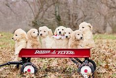 Golden Retriever Puppies in a wagon. Jeanniefrancisphotography.com